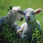 El Buen Pastor alimenta Sus ovejas