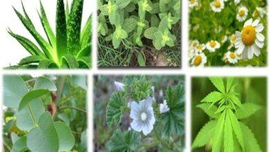 Photo of Plantas Medicinales LAS MEJORES
